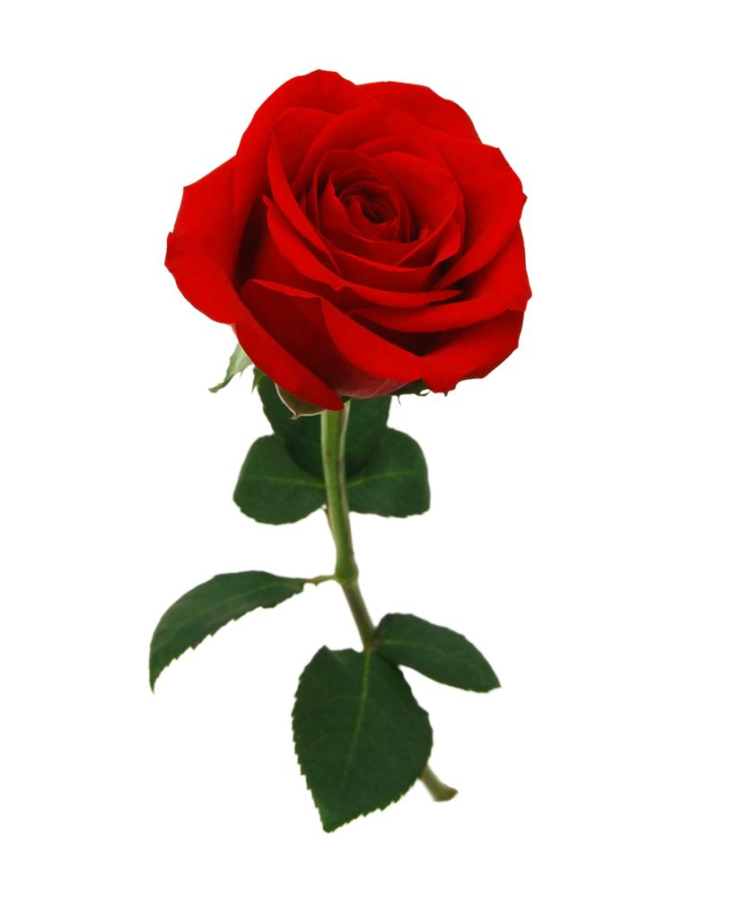 Single Rose +£6.99